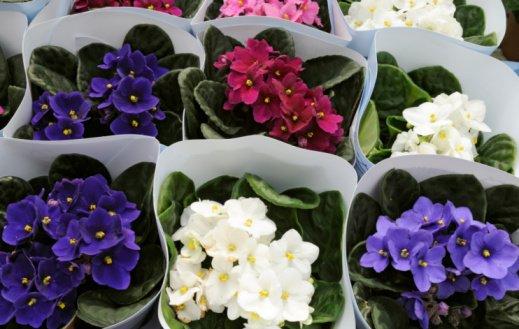 Flores Abellá